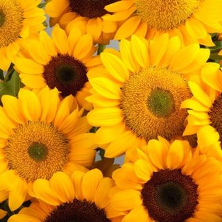 Sunflower Vincent Choice