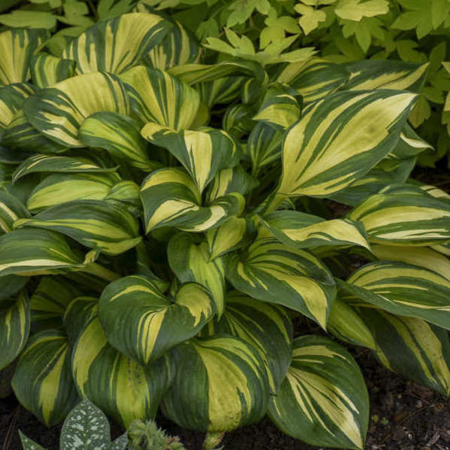 Hosta- Variegated Cut Foliage