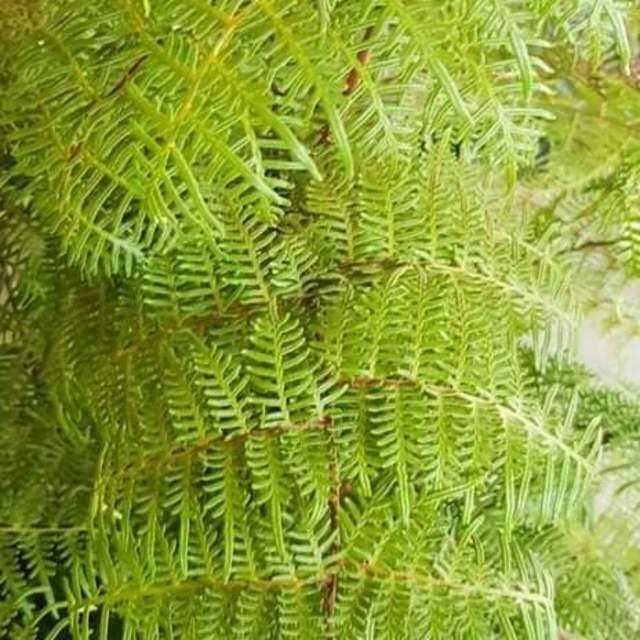 Braken Fern - Cut Foliage