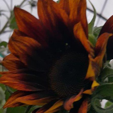 Sunflower Moulin Rouge